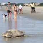 Green Turtles on Hilton Head