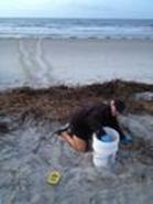 Sea Turtle Nest Being Protected